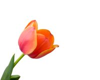 Tulip isolated on white background Stock Photography