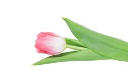 Tulip isolated Royalty Free Stock Photos