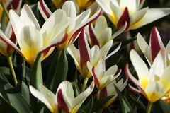 Tulip kaufmann tulipa kaufmanniana. Detail white and red tulips, tulips bloom in the garden Stock Photography