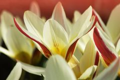 Tulip kaufmann tulipa kaufmanniana. Detail white and red tulips, tulips bloom in the garden Royalty Free Stock Photography