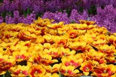 Tulip Kees Nelis 1 Imagens de Stock