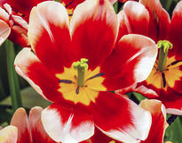 Tulip Keukenhoff Lisse Holland Netherlands bianca rossa immagine stock
