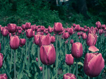 Tulip. A kind of pink tulip with big flower Royalty Free Stock Photo