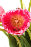 Tulip and Lady Bugs Stock Image