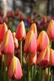 Tulip Lale Fotografía de archivo libre de regalías