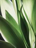 Tulip Leaf Lizenzfreie Stockbilder