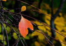 Tulip leaf Stock Photo