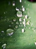 Tulip leaf with water droplets in the garden royalty free stock photo