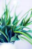 Tulip Leaves Royalty-vrije Stock Foto