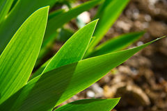 Tulip leaves Stock Photos