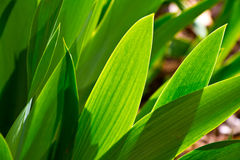 Tulip leaves Royalty Free Stock Image