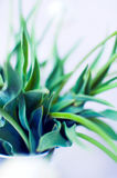 Tulip Leaves. Close-up of tulip leaves Royalty Free Stock Photo