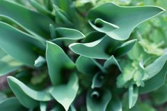 Tulip leaves, soft focus, unusual top view. Nature green foliage background. Tulip leaves, soft focus, unusual top view. Nature green foliage background royalty free stock images