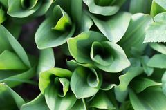 Tulip leaves, soft focus, unusual top view. Nature green foliage background. Tulip leaves, soft focus, unusual top view. Nature green foliage background royalty free stock photography