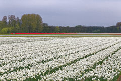 Tulip and lent lily field. In the dutch countryside royalty free stock photography