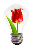 Tulip in the light bulb Royalty Free Stock Image