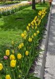 Tulip Lined Washington Boulevard gialla, rossa e rosa, Olanda, Michigan immagine stock