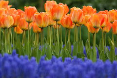 Tulip lines. Orange tulips in a flower bed with blue muscuri in the foreground Stock Photos
