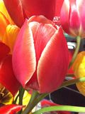 Tulip. Live spring flower red nature Tender Petals button beautiful stock photo
