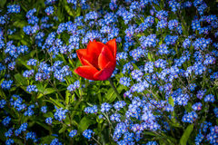 Tulip among lue forget-me-nots Royalty Free Stock Photos