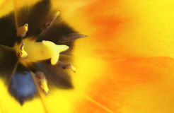Tulip Macro Royalty Free Stock Photography