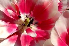 Tulip Macro Royalty Free Stock Photos