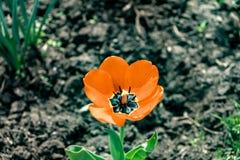 Tulip Macro alaranjada imagem de stock royalty free