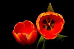 Tulip Macro arancio Fotografia Stock