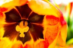 Tulip macro Stock Photos