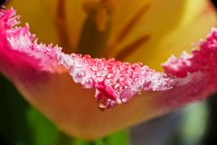 Tulip macro. Beautiful pink with yellow flower with drops of dew, water. Background and space for your text Stock Photography