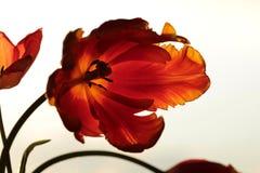 Tulip macro Royalty Free Stock Image