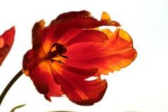 Tulip macro Stock Image