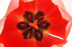 Tulip Macro Royalty Free Stock Photos