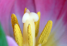 Tulip. Macro Photography. Royalty Free Stock Photo
