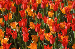 Tulip madness Royalty Free Stock Photo
