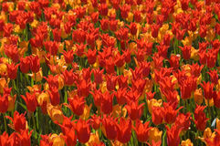 Tulip madness Royalty Free Stock Photos