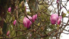 Tulip magnolia in blossom. Tulip magnolia flowers under rain stock footage