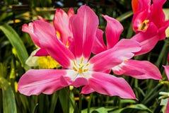 Tulip Mariette Fotografia Stock Libera da Diritti