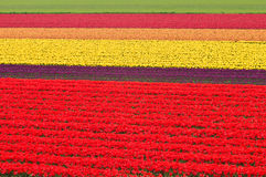 Tulip meadow. A commercial tulip cultivation meadow Stock Photography