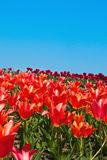 Tulip meadow Royalty Free Stock Photo