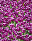 Tulip meadow Royalty Free Stock Images