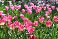 Tulip Meadow Foto de archivo libre de regalías