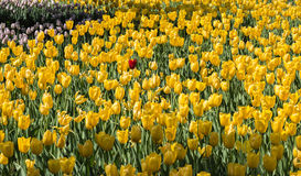 The tulip. The meaning of tulips is a kind of flowers, in plant taxonomy, is a kind of belong to the lily family tulip bulb with herbaceous plants of the genus Stock Photos