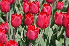 Tulip Merry Christmas Tulipa, Liliaceae, flowers in spring Stock Photography