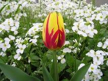 Tulip Micky Mouse Photographie stock libre de droits