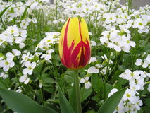 Tulip Micky Mouse Royalty Free Stock Photography