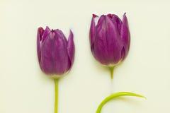Tulip in milk Stock Photos