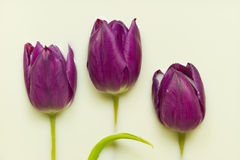 Tulip in milk Royalty Free Stock Photo