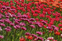 Tulip mixture with red and pink flowers Royalty Free Stock Photography