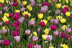 Tulip mixture in spring, Netherlands Stock Image
